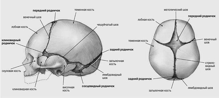 схема головы ребенка